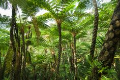 Tree fern jungle! Okinawa, Japan