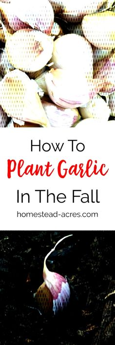 Growing Garlic: How To Plant Garlic In The Fall Growing . Planting Garlic In Fall, Canning, Plants, Food, Home Canning, Meals, Plant, Yemek, Planting