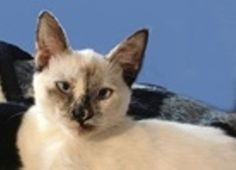 Selena is an adoptable Siamese Cat in San Diego, CA. I am a pretty girl that might be a bit shy at first. I do love people, and like to purr right next to you. I get along with all nice cats -- but, m...