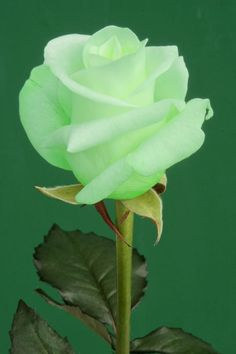The green rose. This is gorgeous. My Mamaw had a rose like this for years when I was a kid. This is the first one I've seen like it since. They remind me of lemon lime!