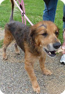 Zanesville, OH - Shepherd (Unknown Type) Mix. Meet 38625 King Senior sponsored $65 plus tags, a dog for adoption. http://www.adoptapet.com/pet/11083925-zanesville-ohio-shepherd-unknown-type-mix