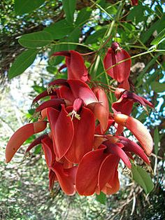 Erythrina crista-galli - Wikipedia, la enciclopedia libre