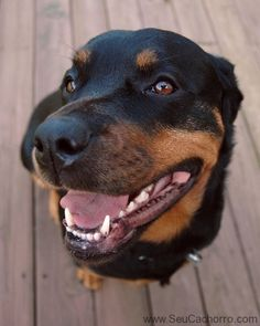 Rottwilers are the cutest.! This looks just like my Ruger!