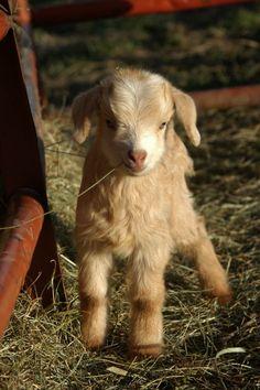 Precious baby goat.