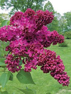 Congo Lilac Big Plants, Exotic Plants, Potted Plants, Growing Flowers, Planting Flowers, Flowers Garden, Garden Plants, Dutch Gardens, Flower Pot Design