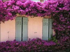 Španjolski jasmin (Jasminum grandiflorum Linn) - Moj Vrt Cvijeća