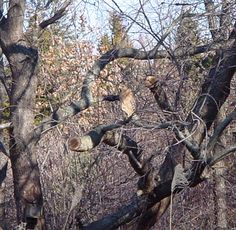 He is a bit hard to see, but one of our 3 types of resident Hawks: Red Shouldered, Coopers and Marsh, at Rabbit Path Habitat is in the center if you look closely at the tree.