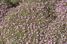 Gypsophila muralis Gypsy Pink