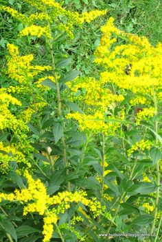 Goldenrod is a native perennial plant that is deer resistant. In late summer, the beautiful yellow flowers provide nectar for butterflies and bees.