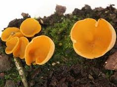 A Orange Peel Fungus (Aleuria aurantia)