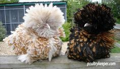 The Polish or Poland is a European breed of chicken known for its crest of feathers.
