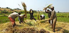 #bioeticonet. #FAO: uno #sviluppo #sostenibile non può essere raggiunto senza una #agricoltura resiliente.