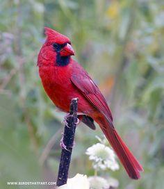 All sizes | Northern Cardinal (Cardinalis cardinalis), via Flickr.