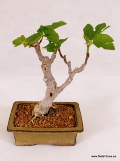 ficus ginseng curvo bonsais pinterest ficus bonsai and plants. Black Bedroom Furniture Sets. Home Design Ideas