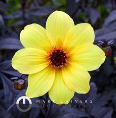 A Yellow Dahlia