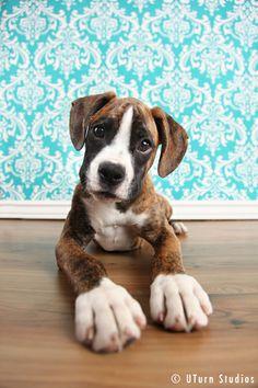 boxer pup.