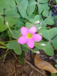 Olha a delicadeza desta flor da azedinha!