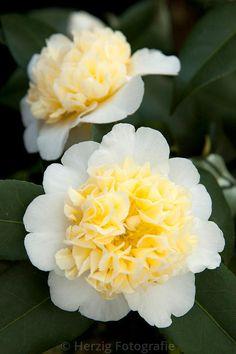 "Camellia ""Jury´s Yellow"" Kamelie"