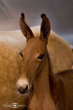 Isn't she lovely? A Pena donkey (no NOT a marwari mule-yeesh, there is no such…