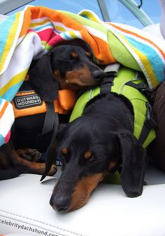 @Crusoe The Celebrity Dachshund and his brother kayaking! ^_^ How cute are they!