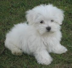 Maltese dogs | Cute Little Maltese Puppies and Dogs More