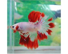 THAI-IMPORT-Male-White-Red-Marble-Mask-Halfmoon-Betta-TOP-QUALITY-HM-LIVE-FISH
