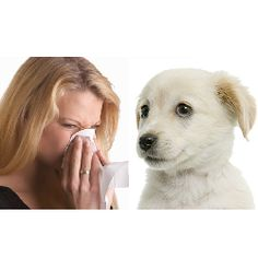 Click The Picture To Find Out The Most Loveable Dogs for People With Allergies -> DOGSArena.com