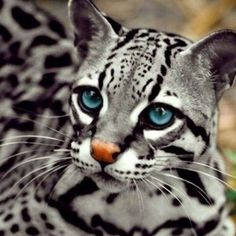 Beautiful Eyes ocelot cats are tooooo pretty!