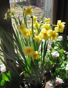 The Hardy Boys: Flowering Bulbs for Winter Windows   A Garden for the House