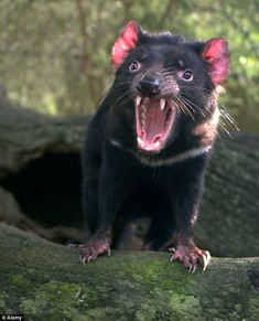 Tasmanian devils are small marsupials with ratlike features, sharp teeth and coarse black or brown fur. Diminutive as it may be, don't be fooled: This creature has a fighting style that is quite intimidating. Wildlife Nature, Nature Animals, Animals And Pets, Funny Animals, Cute Animals, Magnificent Beasts, Fierce Animals, Dangerous Animals, Nocturnal Animals