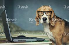Sleepy perro beagle en gafas divertido cerca de una computadora portátil royalty-free stock photo
