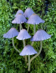 Coprinellus micaceus is a common species of fungus in the family Psathyrellaceae with a cosmopolitan distribution. The fruit bodies of the saprobe typically grow in clusters on or near rotting hardwood tree stumps or underground tree roots. Mushroom Art, Mushroom Fungi, Mushroom Species, Wild Mushrooms, Stuffed Mushrooms, Mushroom Pictures, Mushroom Images, Dame Nature, Slime Mould