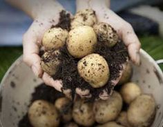 Homegrown Potatoes - Enjoy homegrown potatoes no matter how much space you have with these step-by-step instructions for creating and using a potato barrel. As long as you have a sunny spot to place a garbage can, you can grow your own potatoes! Organic Gardening, Gardening Tips, Potato Barrel, Espalier, Mother Earth News, Edible Garden, Garden Fun, Garden Crafts, Dream Garden