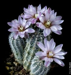 Gymnocalycium bruchii v. niveum OF Blooming Succulents, Cacti And Succulents, Planting Succulents, Planting Flowers, Desert Flowers, Flowers Nature, Exotic Flowers, Desert Plants, Cactus Blossoms