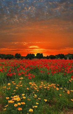 Sunrise in poppy fields
