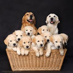 Dog Family - Golden Retriever - Puppies