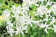 Nerines Alba, easy-to-grow autumn flowers