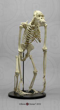 Articulated Orangutan Skeleton - Bone Clones, Inc. - Osteological Reproductions