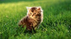 Really Super Cute Fluffy Kittens! Fluffy Kittens, Cute Cats And Kittens, Baby Cats, Cool Cats, Kittens Cutest, Fluffy Cat, Cat Wallpaper, Animal Wallpaper, Computer Wallpaper
