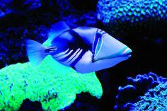 https://upload.wikimedia.org/wikipedia/commons/f/f5/Palma_Aquarium-Pez_picasso.jpg