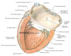 Anatomia Online - Coração