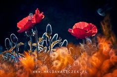 The poppies time by Magda Wasiczek on 500px