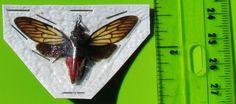 Lot of 10 Popular Red Devil Cicada Huechys incarnata Spread FAST SHIP FROM USA