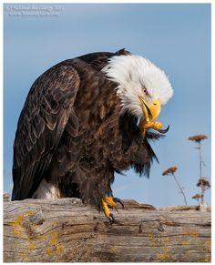 Bald Eagle photo by Siddhardha Garige on 500px