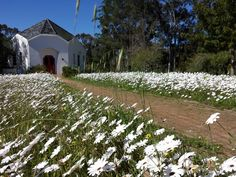 The path leading to the Camphill chapel, through a frothy meadow of white daisies