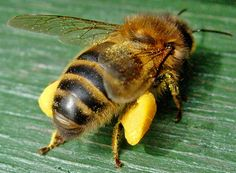 A nice picture of a honeybee with filled pollen baskets and a great link to the dangers of products that harm bees.  Worker with Full Pollen Baskets
