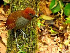 Grallaria nuchalis by Alejandro Bayer Tamayo.jpgEl tororoí nuquicastaño3 (Grallaria nuchalis), también denominado gralaria nuquicastaña (en Ecuador), tororoi chusquero (en Colombia), tororoi de nuca castaña (en Perú) o chululú de nuca castaña,4 es una especie de ave paseriforme perteneciente al numeroso género Grallaria de la familia Grallariidae, anteriormente incluido en Formicariidae.5 6 Es nativo de la región andina del noroeste de América del Sur.