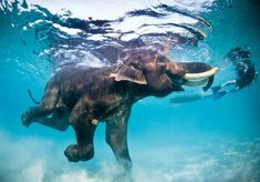 Swimming with elephants in Thailand...i would love to do this one day
