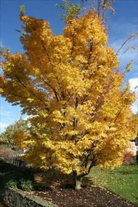 Coral bark Japanese Maple - Acer palmatum 'Sango-kaku' - PNW Plants- 25 ft high, 20 ft wide, fall color, gold foliage in fall, reddish bark in winter Deciduous Trees, Trees And Shrubs, House Landscape, Landscape Design, Acer Palmatum, Maple Tree, Japanese Maple, Autumn Garden, Things To Come