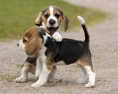 Playful beagle pups!